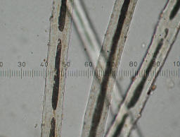 Alpaca fibers with micrometer magnified 400x originally.