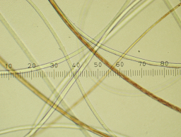 Cashmere fibers under the microscope.