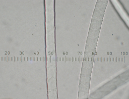 Cashmere fibers magnified 400x.