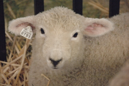 Cute lamb looking at camera.